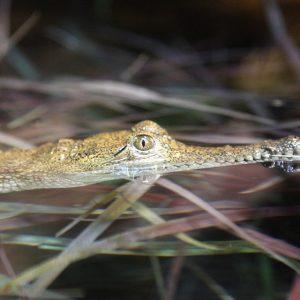 Healesville-Croc