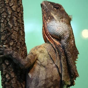 Healesville-Lizard