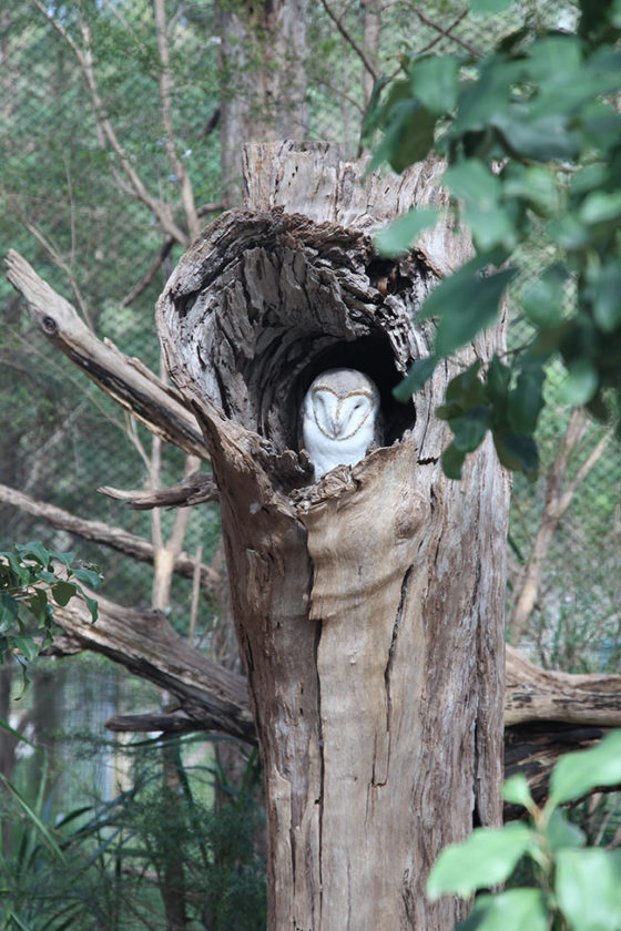 Healesville-Owl