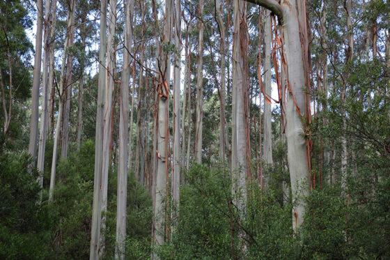 Otway-Trees