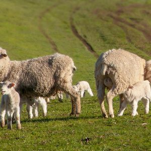 Tuki_sheep-&-lambs